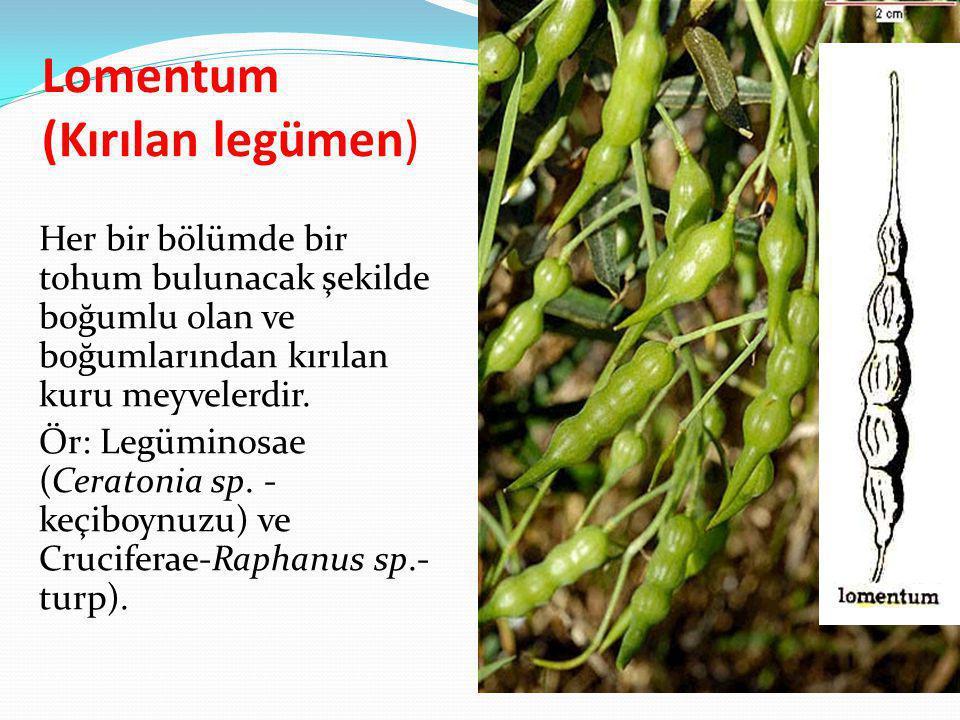 Lomentum (Kırılan legümen) Her bir bölümde bir tohum bulunacak şekilde boğumlu olan ve boğumlarından kırılan kuru meyvelerdir. Ör: Legüminosae (Cerato