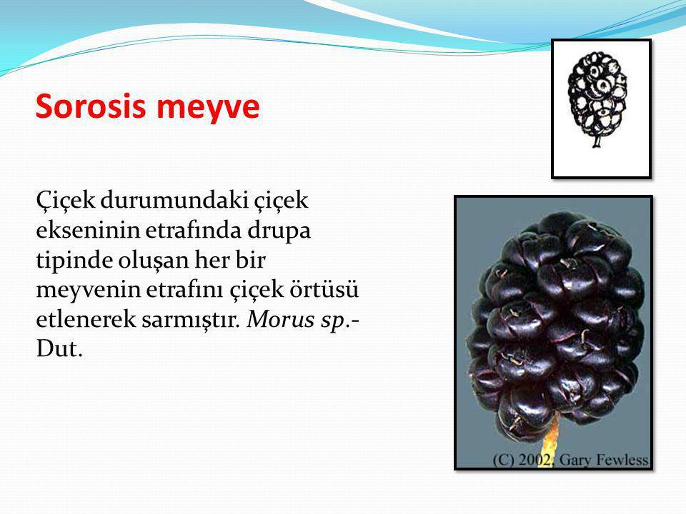 Sorosis meyve Çiçek durumundaki çiçek ekseninin etrafında drupa tipinde oluşan her bir meyvenin etrafını çiçek örtüsü etlenerek sarmıştır. Morus sp.-