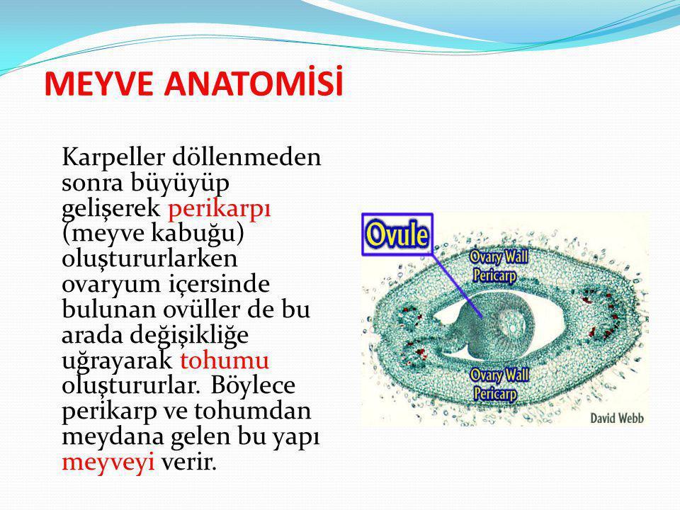 MEYVE ANATOMİSİ Karpeller döllenmeden sonra büyüyüp gelişerek perikarpı (meyve kabuğu) oluştururlarken ovaryum içersinde bulunan ovüller de bu arada d
