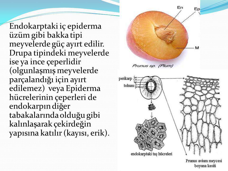 Endokarptaki iç epiderma üzüm gibi bakka tipi meyvelerde güç ayırt edilir. Drupa tipindeki meyvelerde ise ya ince çeperlidir (olgunlaşmış meyvelerde p