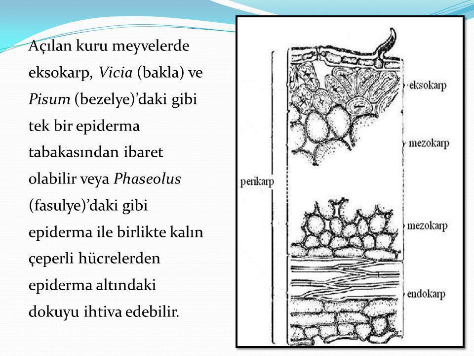 Açılan kuru meyvelerde eksokarp, Vicia (bakla) ve Pisum (bezelye)'daki gibi tek bir epiderma tabakasından ibaret olabilir veya Phaseolus (fasulye)'dak