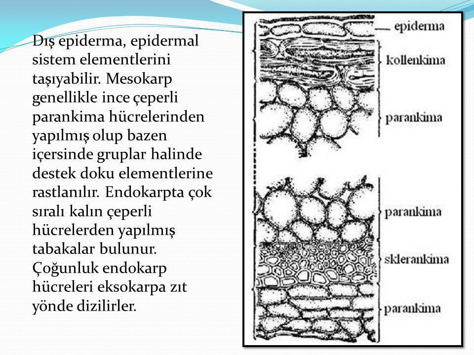 Dış epiderma, epidermal sistem elementlerini taşıyabilir. Mesokarp genellikle ince çeperli parankima hücrelerinden yapılmış olup bazen içersinde grupl
