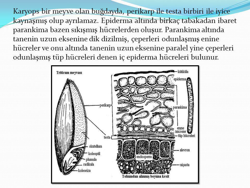 Karyops bir meyve olan buğdayda, perikarp ile testa birbiri ile iyice kaynaşmış olup ayrılamaz. Epiderma altında birkaç tabakadan ibaret parankima baz