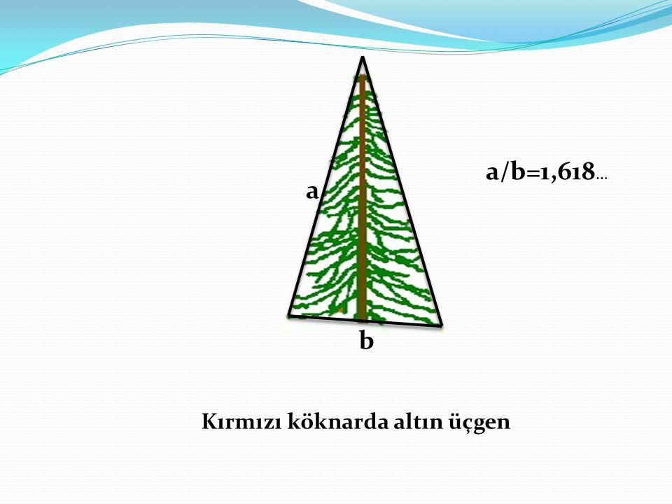 Kırmızı köknarda altın üçgen a b a/b=1,618 …