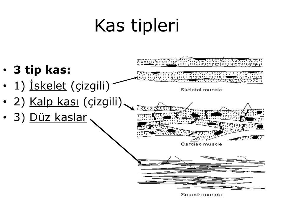Kas tipleri 3 tip kas: 1) İskelet (çizgili) 2) Kalp kası (çizgili) 3) Düz kaslar