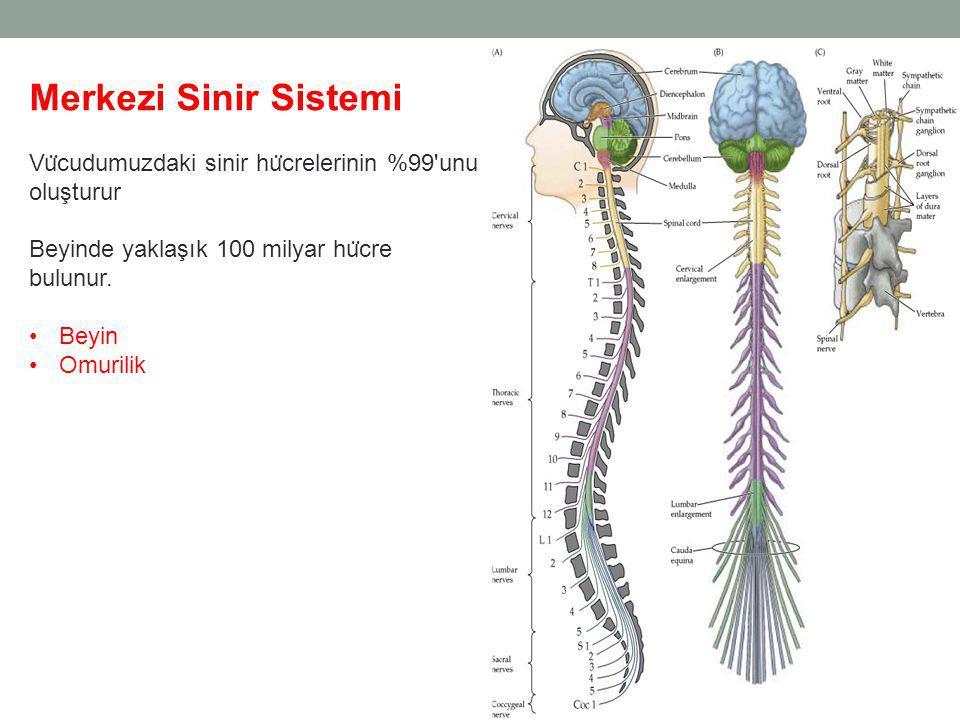 Merkezi Sinir Sistemi Vu ̈ cudumuzdaki sinir hu ̈ crelerinin %99 unu oluşturur Beyinde yaklaşık 100 milyar hu ̈ cre bulunur.