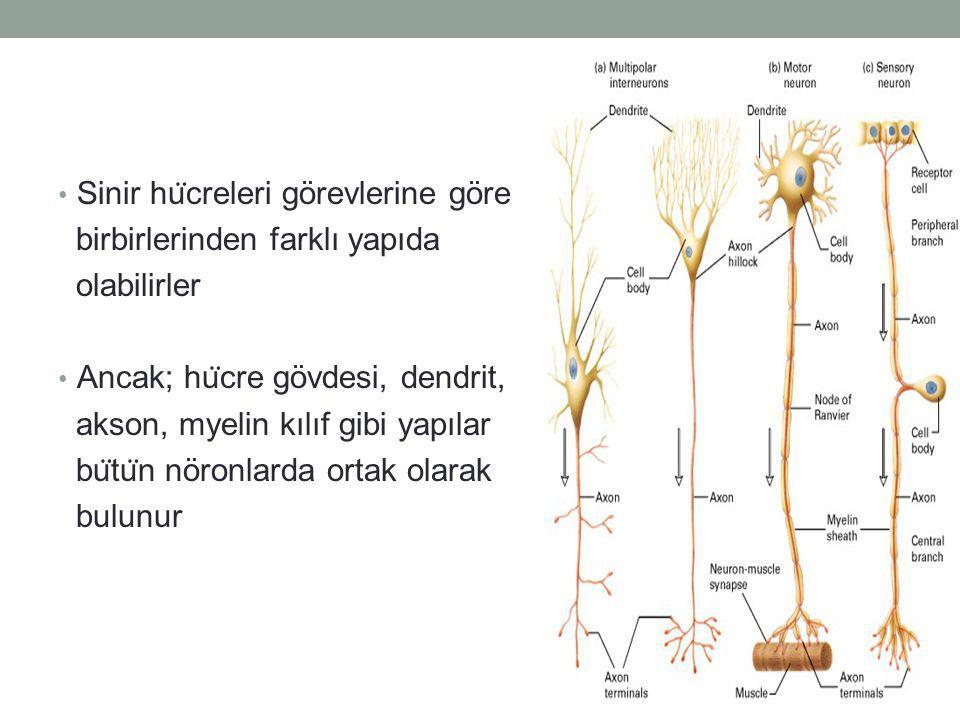 Sinir hu ̈ creleri görevlerine göre birbirlerinden farklı yapıda olabilirler Ancak; hu ̈ cre gövdesi, dendrit, akson, myelin kılıf gibi yapılar bu ̈ tu ̈ n nöronlarda ortak olarak bulunur