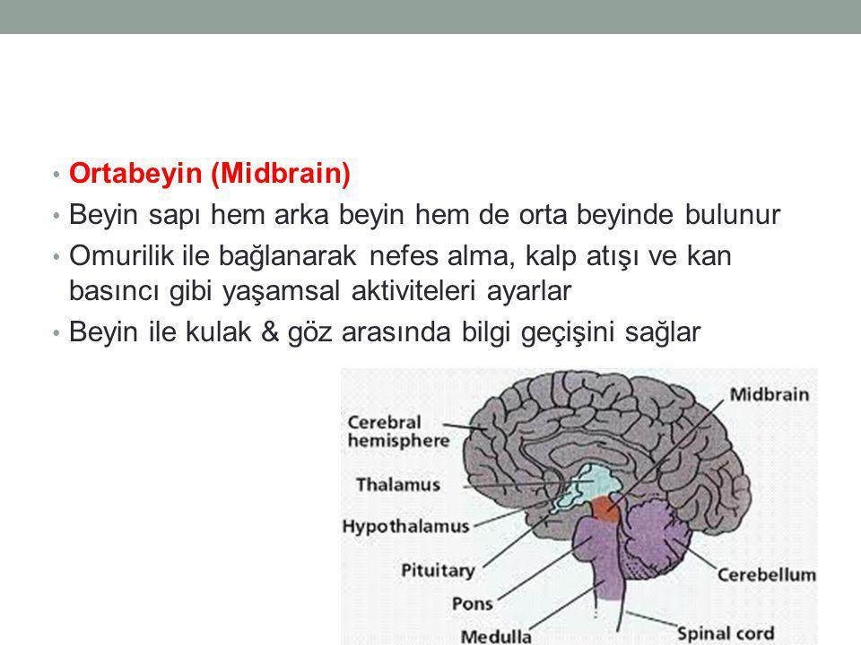 Ortabeyin (Midbrain) Beyin sapı hem arka beyin hem de orta beyinde bulunur Omurilik ile bağlanarak nefes alma, kalp atışı ve kan basıncı gibi yaşamsal aktiviteleri ayarlar Beyin ile kulak & göz arasında bilgi geçişini sağlar