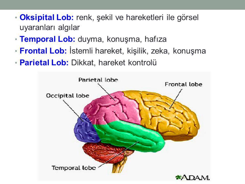 Oksipital Lob: renk, şekil ve hareketleri ile görsel uyaranları algılar Temporal Lob: duyma, konuşma, hafıza Frontal Lob: İstemli hareket, kişilik, zeka, konuşma Parietal Lob: Dikkat, hareket kontrolü