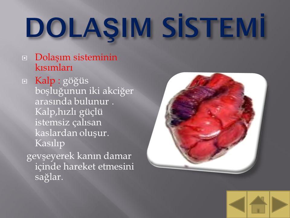  Dolaşım sisteminin kısımları  Kalp : göğüs boşluğunun iki akciğer arasında bulunur.