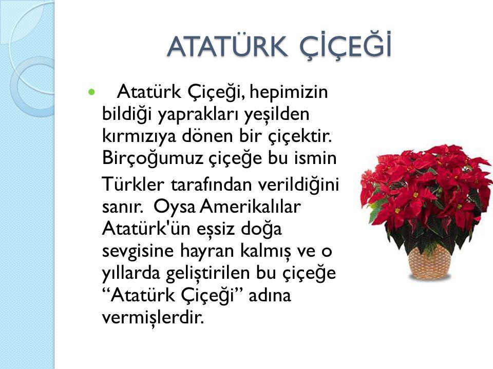 ATATÜRK Ç İ ÇE Ğİ Atatürk Çiçe ğ i, hepimizin bildi ğ i yaprakları yeşilden kırmızıya dönen bir çiçektir. Birço ğ umuz çiçe ğ e bu ismin Türkler taraf