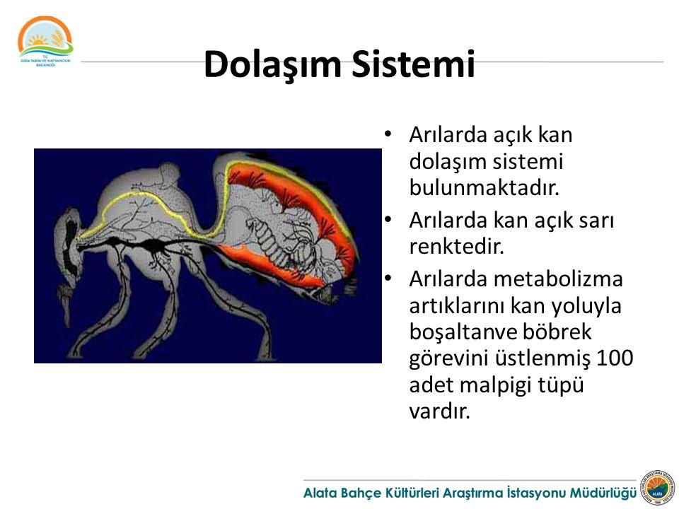Dolaşım Sistemi Arılarda açık kan dolaşım sistemi bulunmaktadır. Arılarda kan açık sarı renktedir. Arılarda metabolizma artıklarını kan yoluyla boşalt