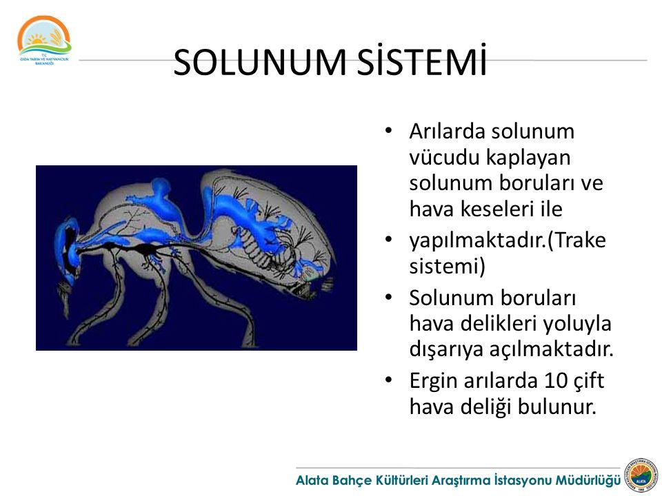 SOLUNUM SİSTEMİ Arılarda solunum vücudu kaplayan solunum boruları ve hava keseleri ile yapılmaktadır.(Trake sistemi) Solunum boruları hava delikleri yoluyla dışarıya açılmaktadır.