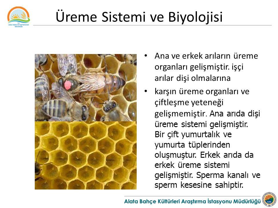 Üreme Sistemi ve Biyolojisi Ana ve erkek arıların üreme organları gelişmiştir.