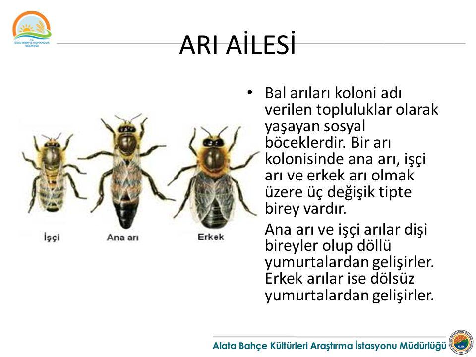 ARI AİLESİ Bal arıları koloni adı verilen topluluklar olarak yaşayan sosyal böceklerdir. Bir arı kolonisinde ana arı, işçi arı ve erkek arı olmak üzer