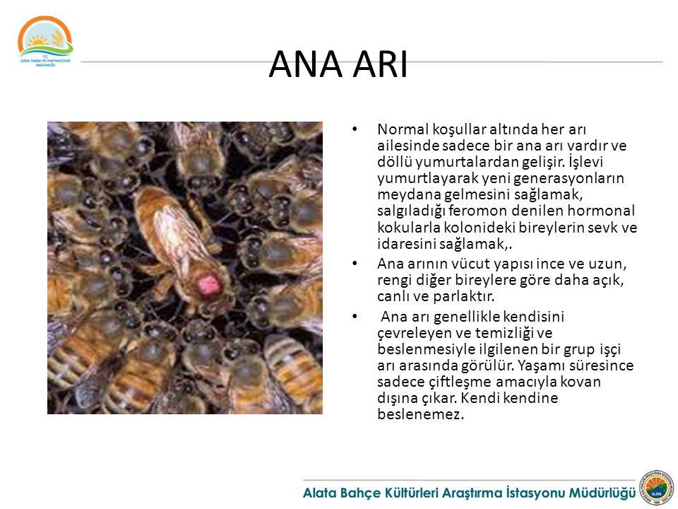 ANA ARI Normal koşullar altında her arı ailesinde sadece bir ana arı vardır ve döllü yumurtalardan gelişir.