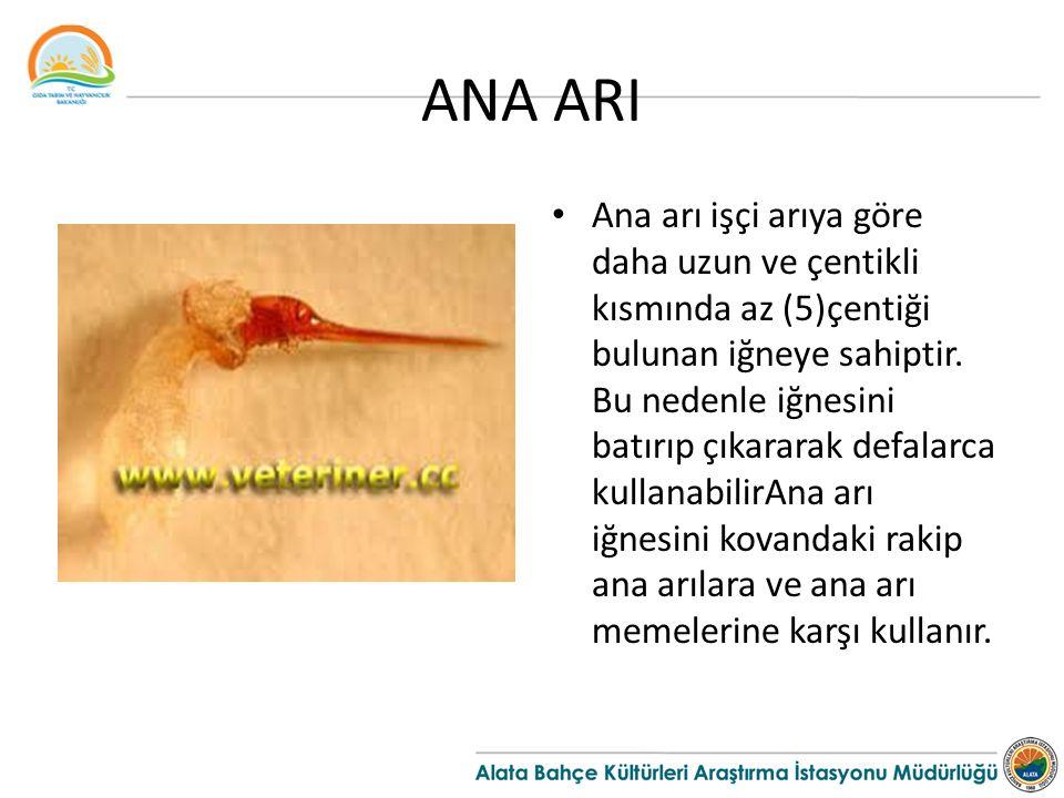 ANA ARI Ana arı işçi arıya göre daha uzun ve çentikli kısmında az (5)çentiği bulunan iğneye sahiptir. Bu nedenle iğnesini batırıp çıkararak defalarca