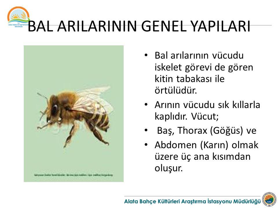 BAL ARILARININ GENEL YAPILARI Bal arılarının vücudu iskelet görevi de gören kitin tabakası ile örtülüdür. Arının vücudu sık kıllarla kaplıdır. Vücut;
