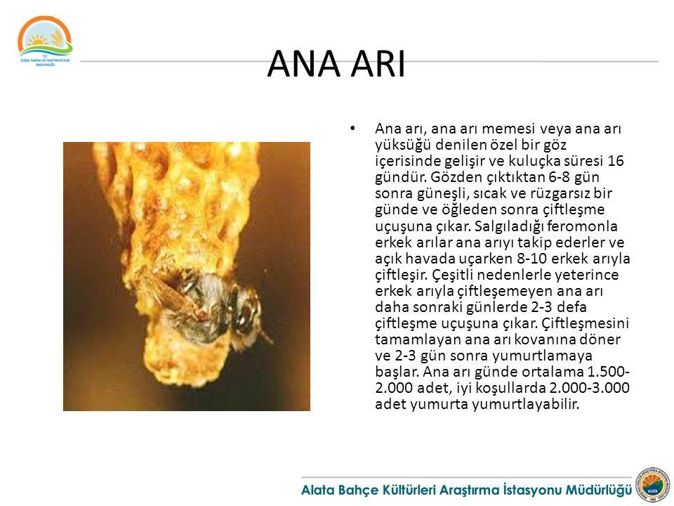 ANA ARI Ana arı, ana arı memesi veya ana arı yüksüğü denilen özel bir göz içerisinde gelişir ve kuluçka süresi 16 gündür. Gözden çıktıktan 6-8 gün son