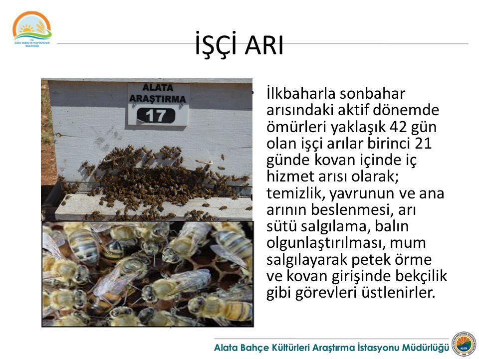 İŞÇİ ARI İlkbaharla sonbahar arısındaki aktif dönemde ömürleri yaklaşık 42 gün olan işçi arılar birinci 21 günde kovan içinde iç hizmet arısı olarak;