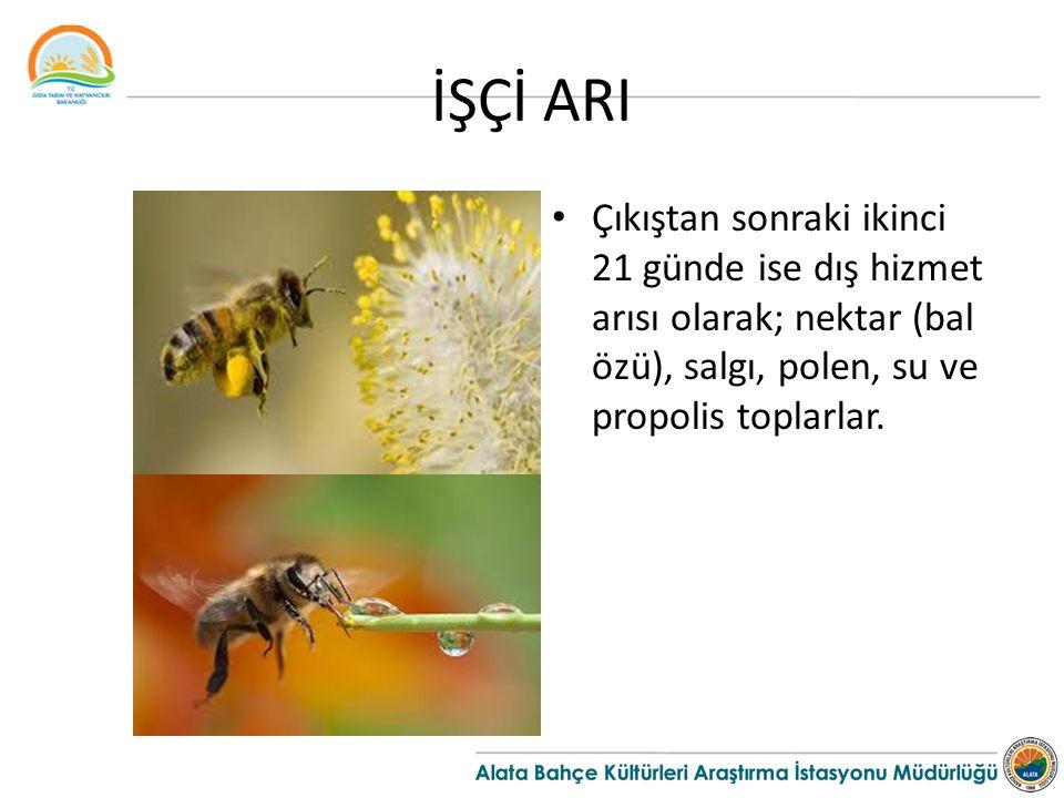 İŞÇİ ARI Çıkıştan sonraki ikinci 21 günde ise dış hizmet arısı olarak; nektar (bal özü), salgı, polen, su ve propolis toplarlar.