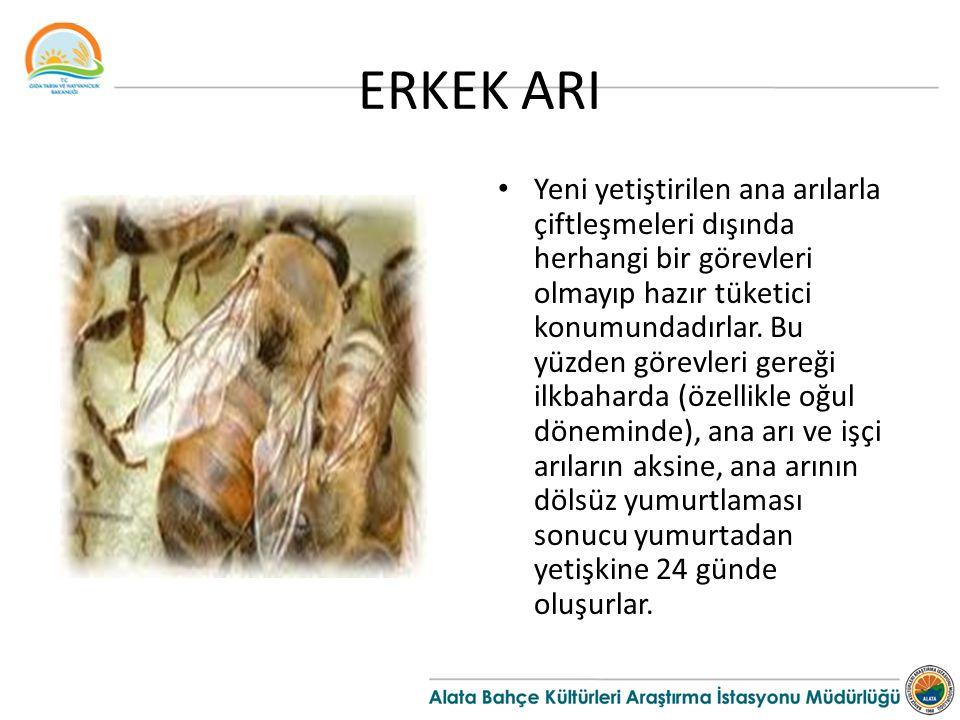 ERKEK ARI Yeni yetiştirilen ana arılarla çiftleşmeleri dışında herhangi bir görevleri olmayıp hazır tüketici konumundadırlar. Bu yüzden görevleri gere
