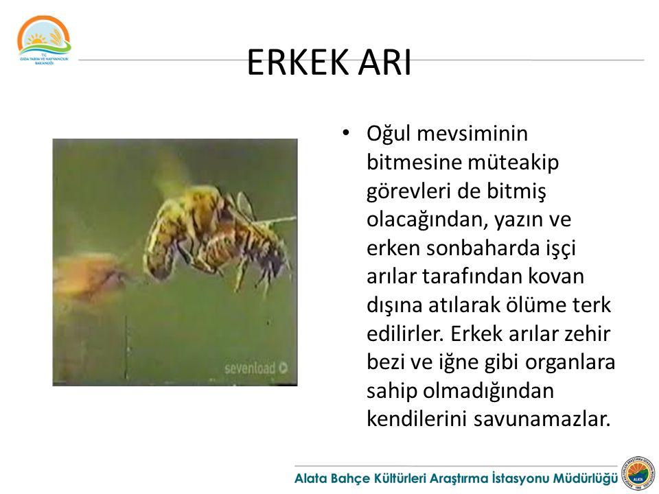 ERKEK ARI Oğul mevsiminin bitmesine müteakip görevleri de bitmiş olacağından, yazın ve erken sonbaharda işçi arılar tarafından kovan dışına atılarak ö