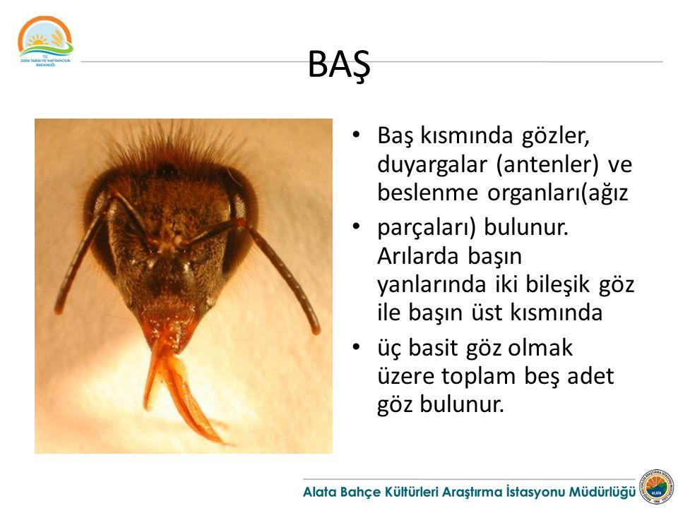 BAŞ Baş kısmında gözler, duyargalar (antenler) ve beslenme organları(ağız parçaları) bulunur. Arılarda başın yanlarında iki bileşik göz ile başın üst