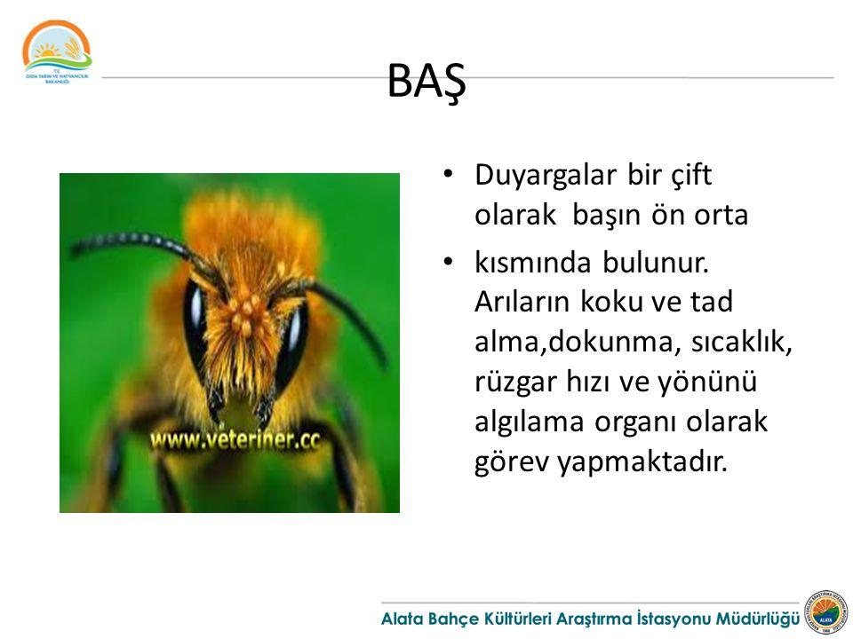 BAŞ Duyargalar bir çift olarak başın ön orta kısmında bulunur. Arıların koku ve tad alma,dokunma, sıcaklık, rüzgar hızı ve yönünü algılama organı olar