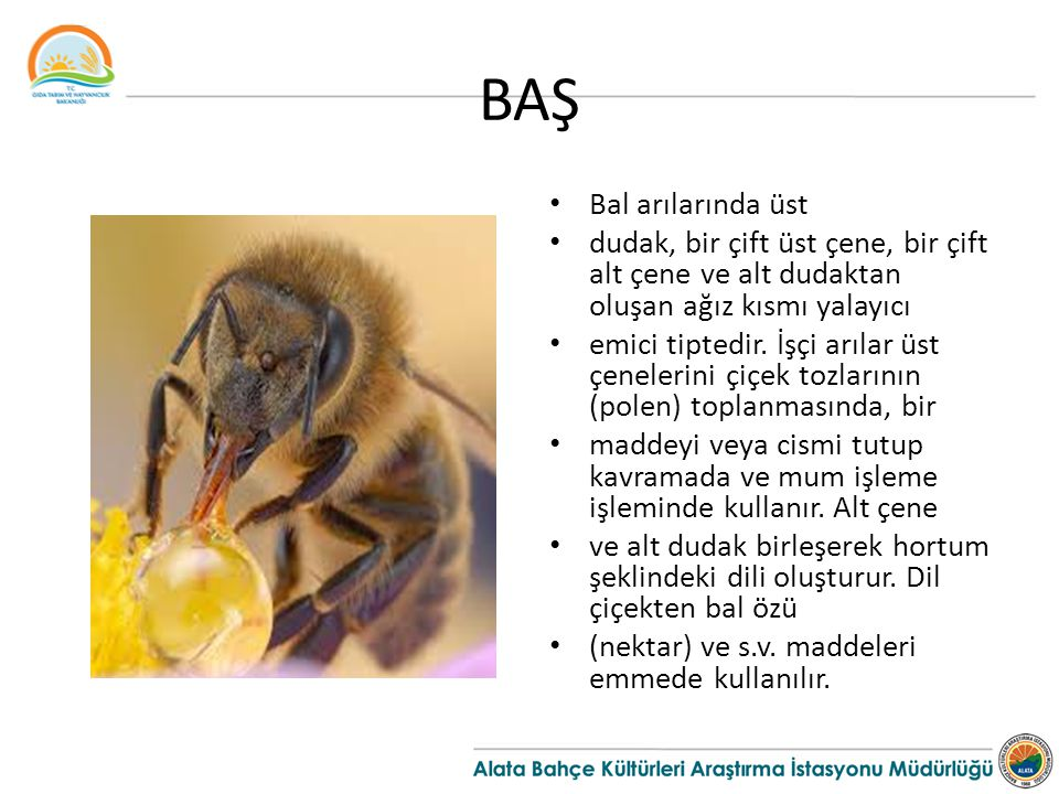 BAŞ Bal arılarında üst dudak, bir çift üst çene, bir çift alt çene ve alt dudaktan oluşan ağız kısmı yalayıcı emici tiptedir. İşçi arılar üst çeneleri