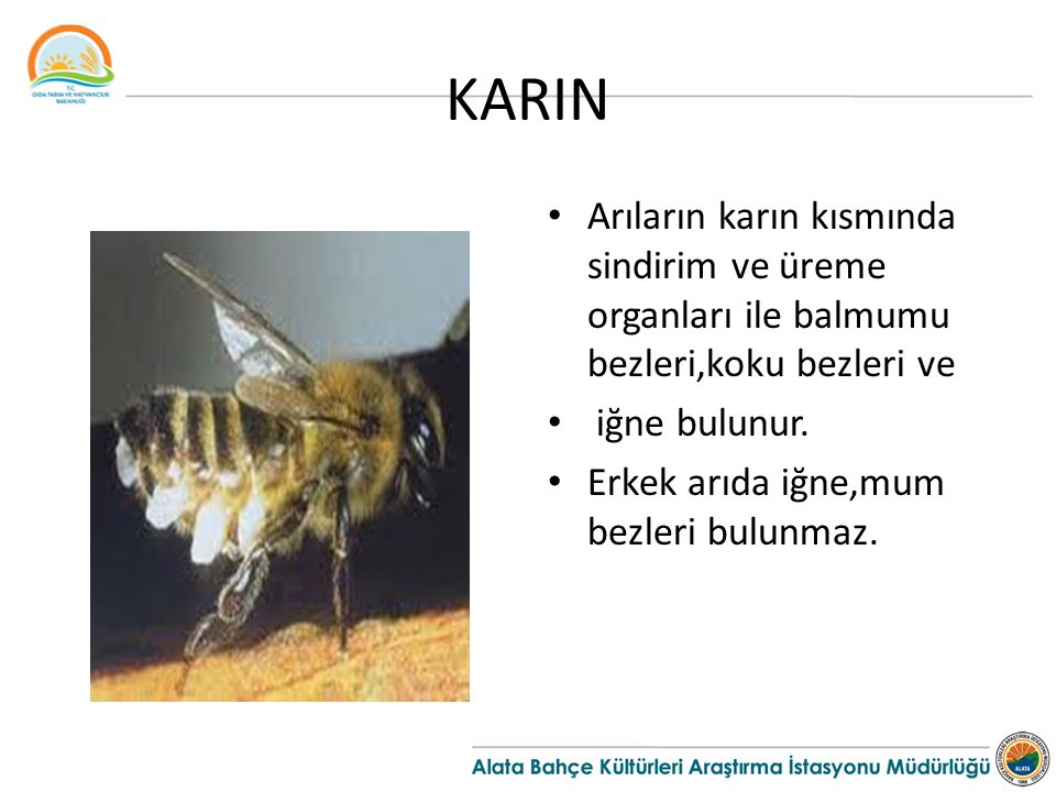 KARIN Arıların karın kısmında sindirim ve üreme organları ile balmumu bezleri,koku bezleri ve iğne bulunur.