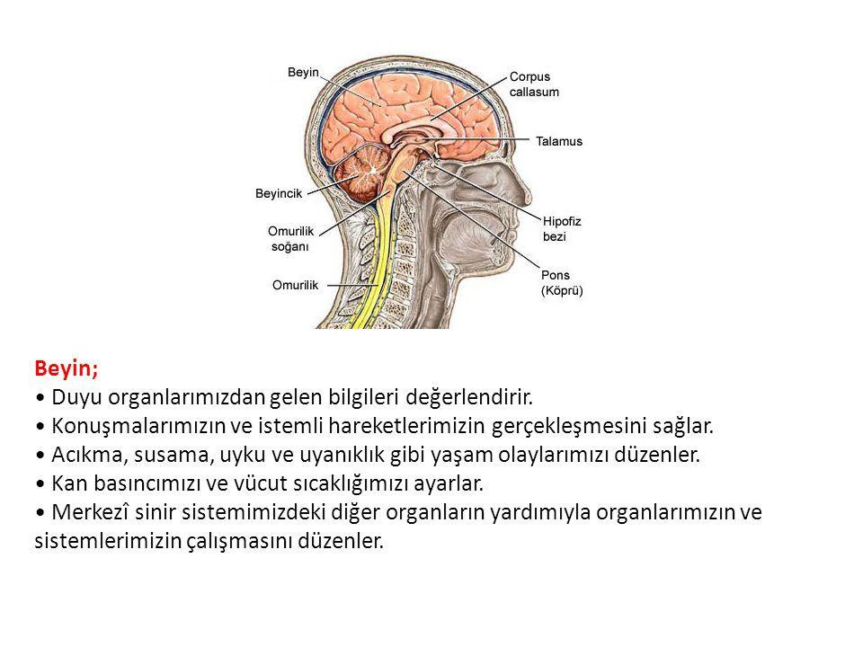 Beyin; Duyu organlarımızdan gelen bilgileri değerlendirir. Konuşmalarımızın ve istemli hareketlerimizin gerçekleşmesini sağlar. Acıkma, susama, uyku v