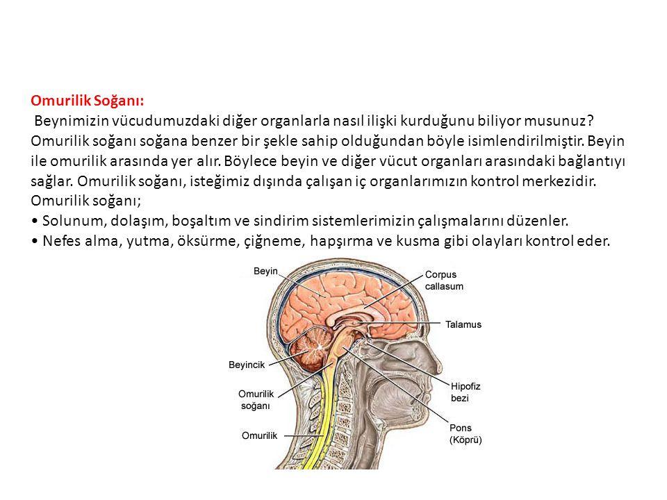 Omurilik Soğanı: Beynimizin vücudumuzdaki diğer organlarla nasıl ilişki kurduğunu biliyor musunuz? Omurilik soğanı soğana benzer bir şekle sahip olduğ