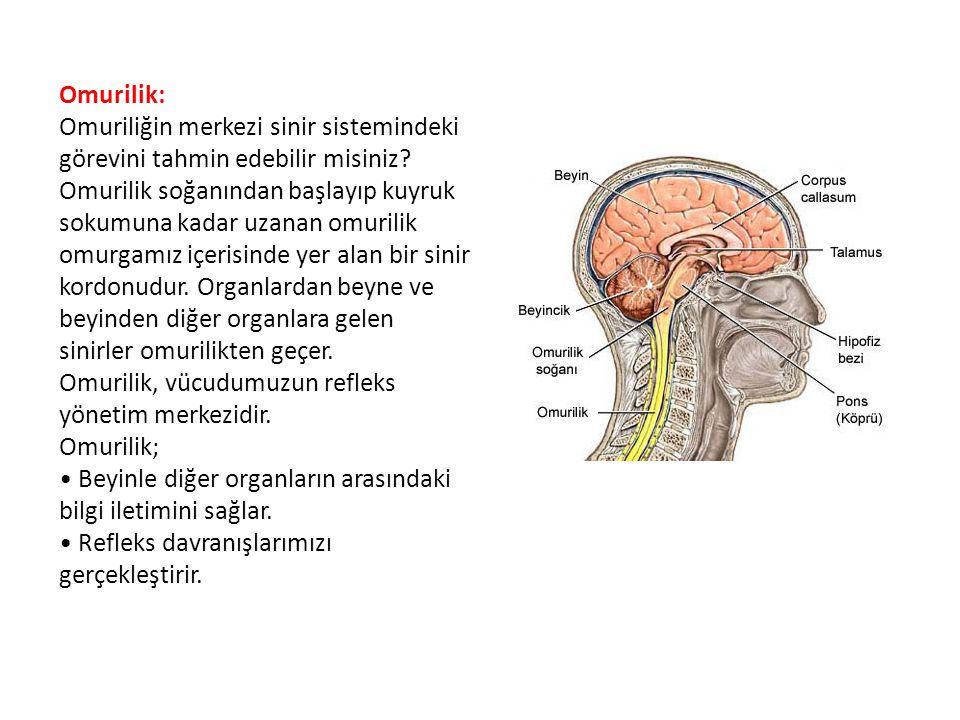 Omurilik: Omuriliğin merkezi sinir sistemindeki görevini tahmin edebilir misiniz? Omurilik soğanından başlayıp kuyruk sokumuna kadar uzanan omurilik o