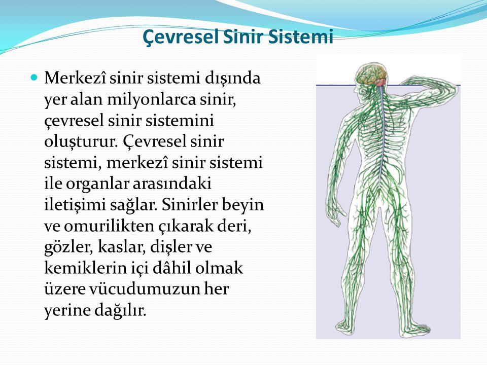 Çevresel Sinir Sistemi Merkezî sinir sistemi dışında yer alan milyonlarca sinir, çevresel sinir sistemini oluşturur. Çevresel sinir sistemi, merkezî s