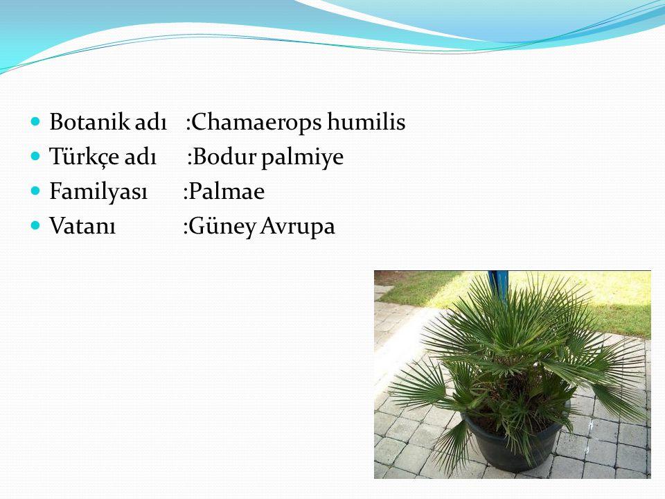 Botanik adı :Chamaerops humilis Türkçe adı :Bodur palmiye Familyası :Palmae Vatanı :Güney Avrupa