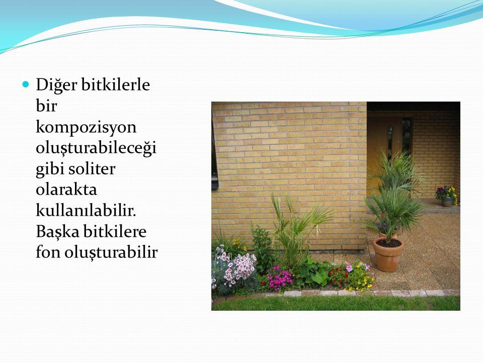 Diğer bitkilerle bir kompozisyon oluşturabileceği gibi soliter olarakta kullanılabilir. Başka bitkilere fon oluşturabilir