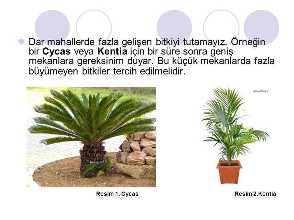 Dar mahallerde fazla gelişen bitkiyi tutamayız. Örneğin bir Cycas veya Kentia için bir süre sonra geniş mekanlara gereksinim duyar. Bu küçük mekanlard
