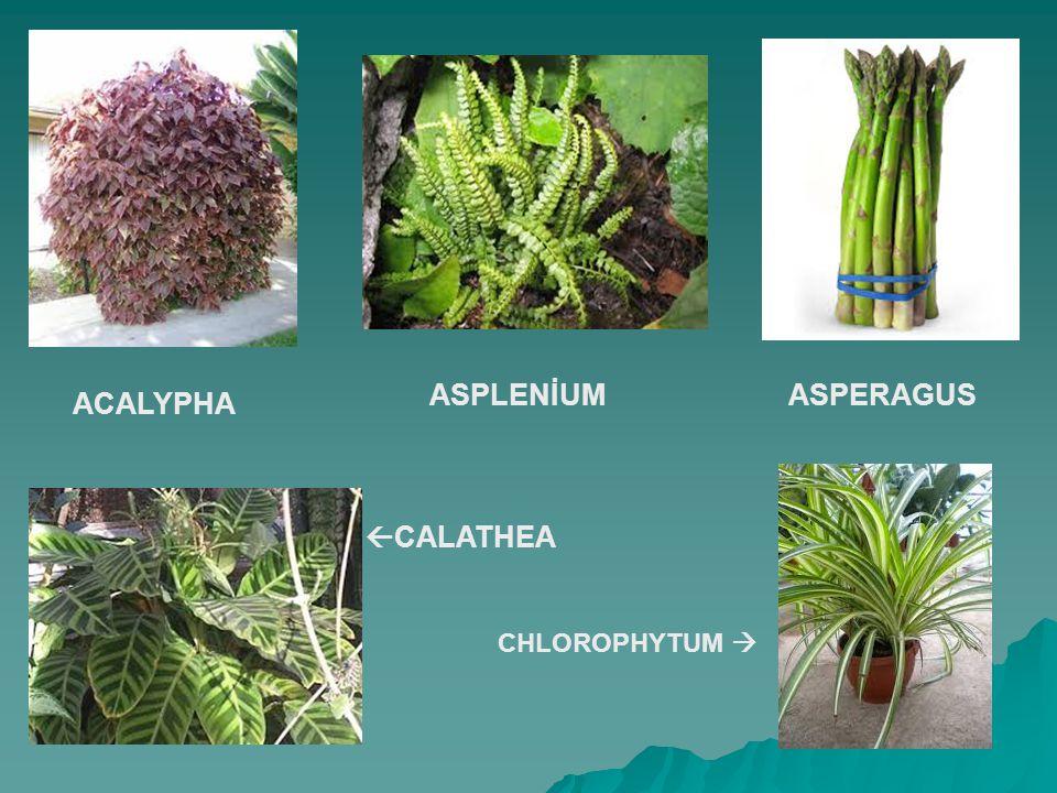ACALYPHA ASPERAGUS ASPLENİUM  CALATHEA CHLOROPHYTUM 