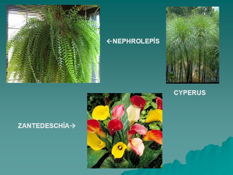  NEPHROLEPİS CYPERUS ZANTEDESCHİA 