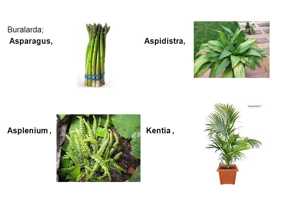 Buralarda; Asparagus, Aspidistra, Asplenium, Kentia,