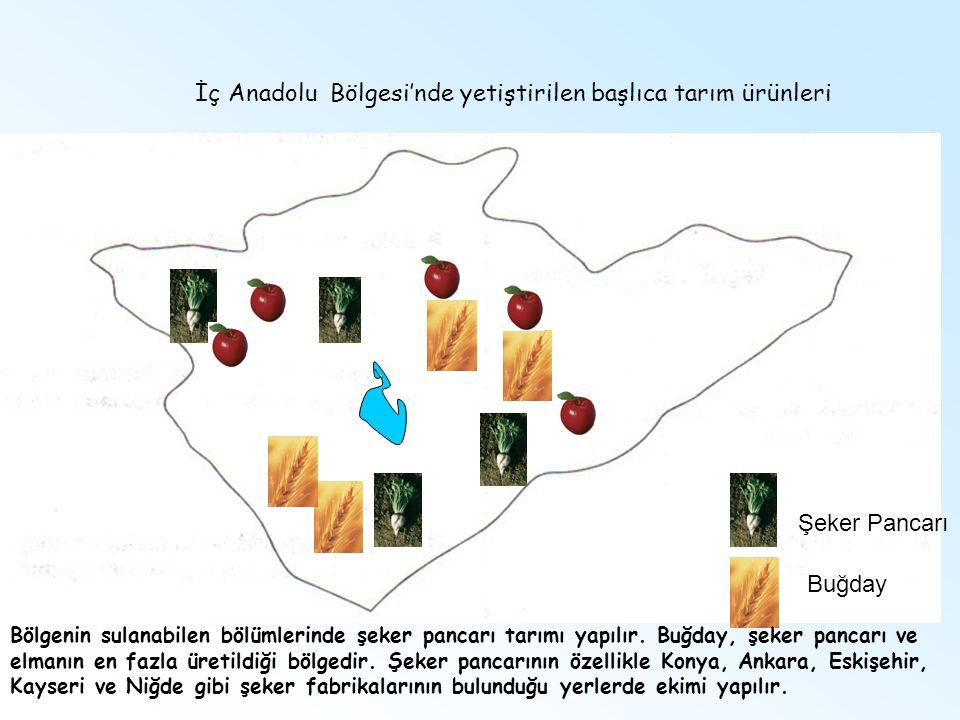 Şeker Pancarı Buğday İç Anadolu Bölgesi'nde yetiştirilen başlıca tarım ürünleri Bölgenin sulanabilen bölümlerinde şeker pancarı tarımı yapılır. Buğday