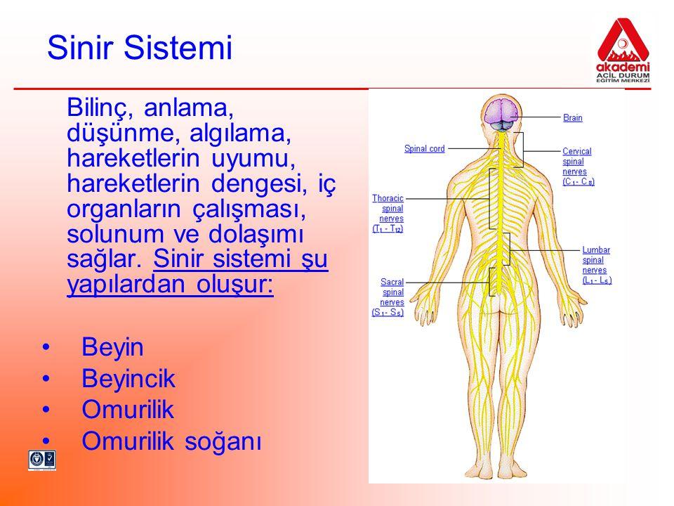 Sinir Sistemi Bilinç, anlama, düşünme, algılama, hareketlerin uyumu, hareketlerin dengesi, iç organların çalışması, solunum ve dolaşımı sağlar. Sinir