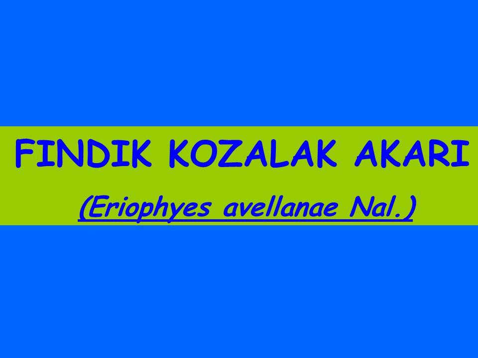 FINDIK KOZALAK AKARI (Eriophyes avellanae Nal.)