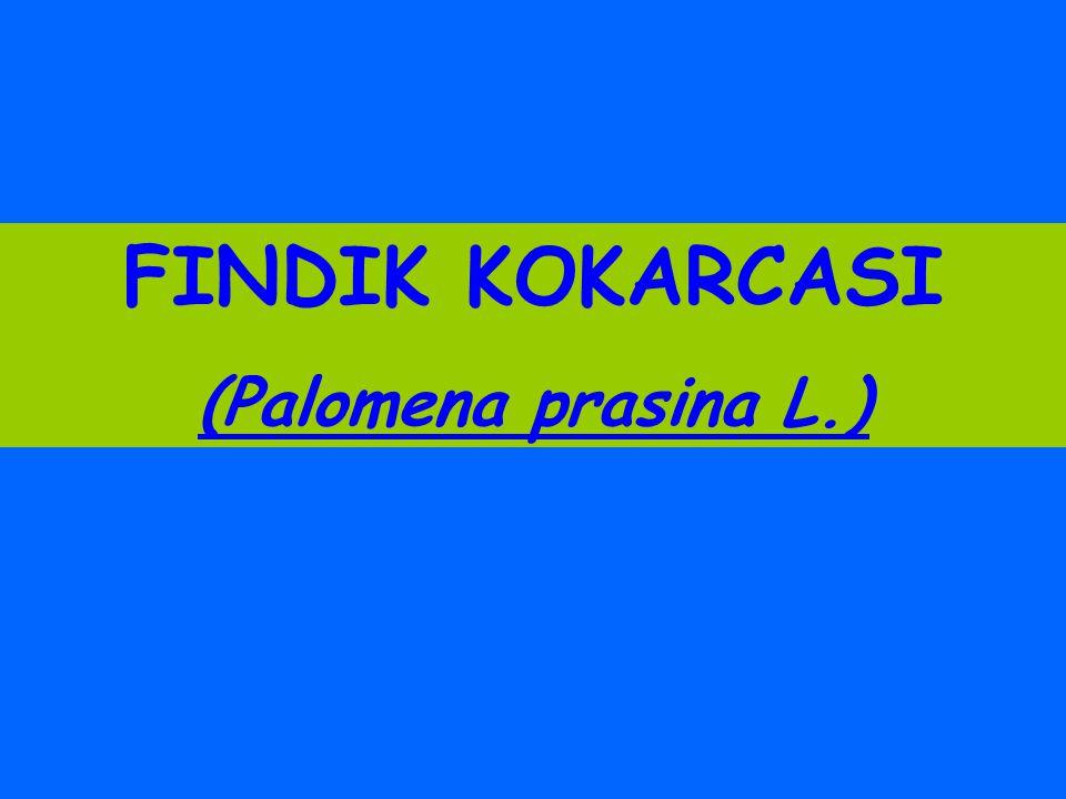 FINDIK KOKARCASI (Palomena prasina L.)