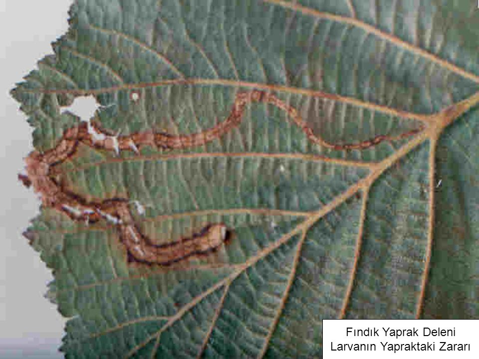 Fındık Yaprak Deleni Larvanın Yapraktaki Zararı