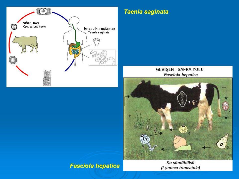 Taenia saginata Fasciola hepatica