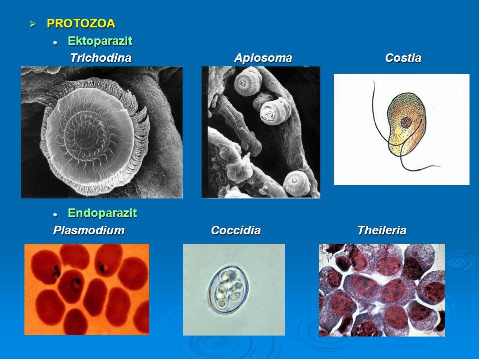  PROTOZOA Ektoparazit Ektoparazit Trichodina Apiosoma Costia Trichodina Apiosoma Costia Endoparazit Endoparazit Plasmodium Coccidia Theileria