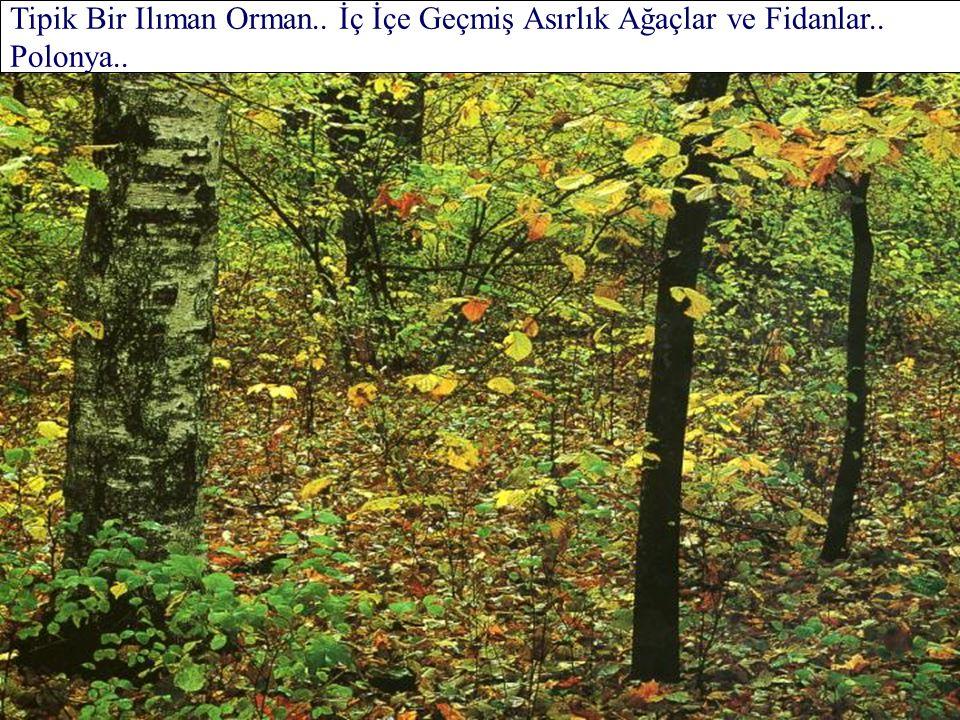 Çok Yaşlı Sarı Çamlar.. Kaledonya Ormanı.. İskoçya..