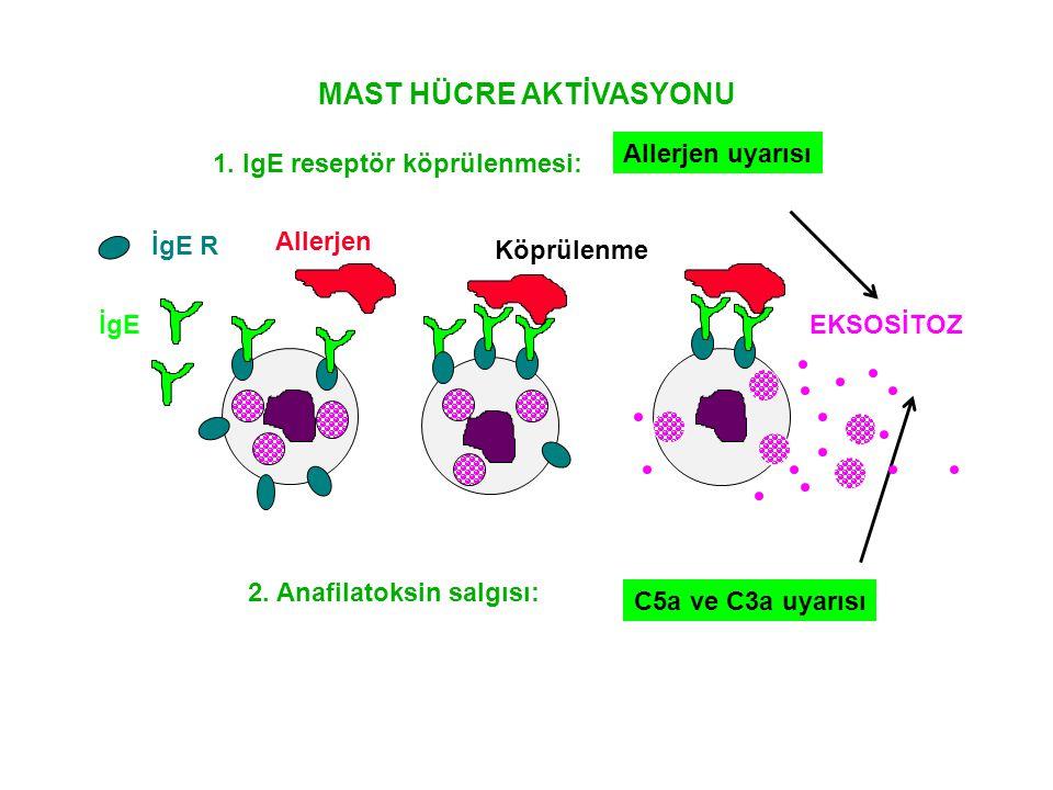 MAST HÜCRE AKTİVASYONU Allerjen Köprülenme EKSOSİTOZ İgE R İgE 1. IgE reseptör köprülenmesi: Allerjen uyarısı 2. Anafilatoksin salgısı: C5a ve C3a uya